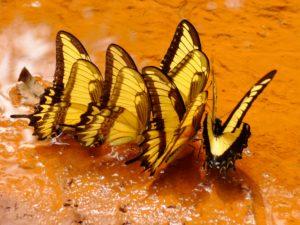 iguazu, butterflies, Argentina, Brazil