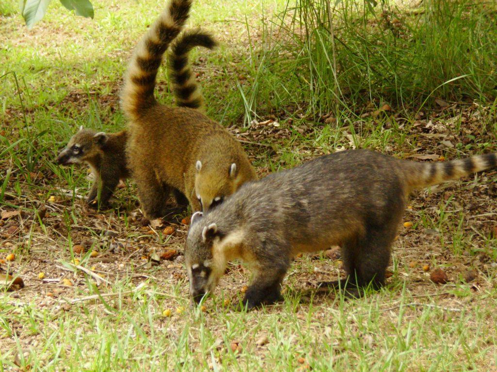coati, omnivorous, iguazu, argentina, brasil