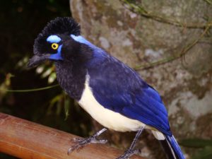 plush-crested jay, iguazu