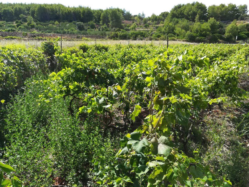 Stari Grad Plain, Stari Grad, grapevines, crops, farming, Hvar, Balkan, Islands,