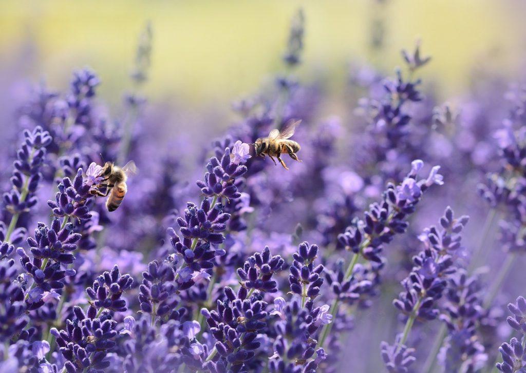 lavender, bees, summer, purple, lilac, Hvar, Croatia, Balkan